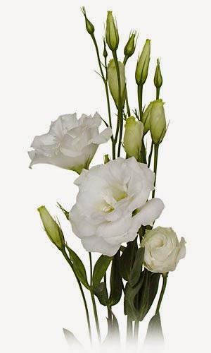 flor lisianthus branca