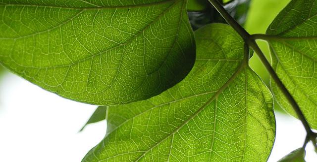 Backlit leaves | Nikon D300 & Micro Nikkor 60mm AFD