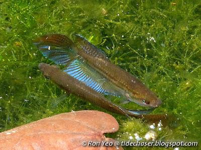 Croaking Gourami (Trichopsis vittata)