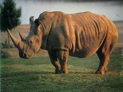 Muere el último rinoceronte de Java a manos de cazadores furtivos
