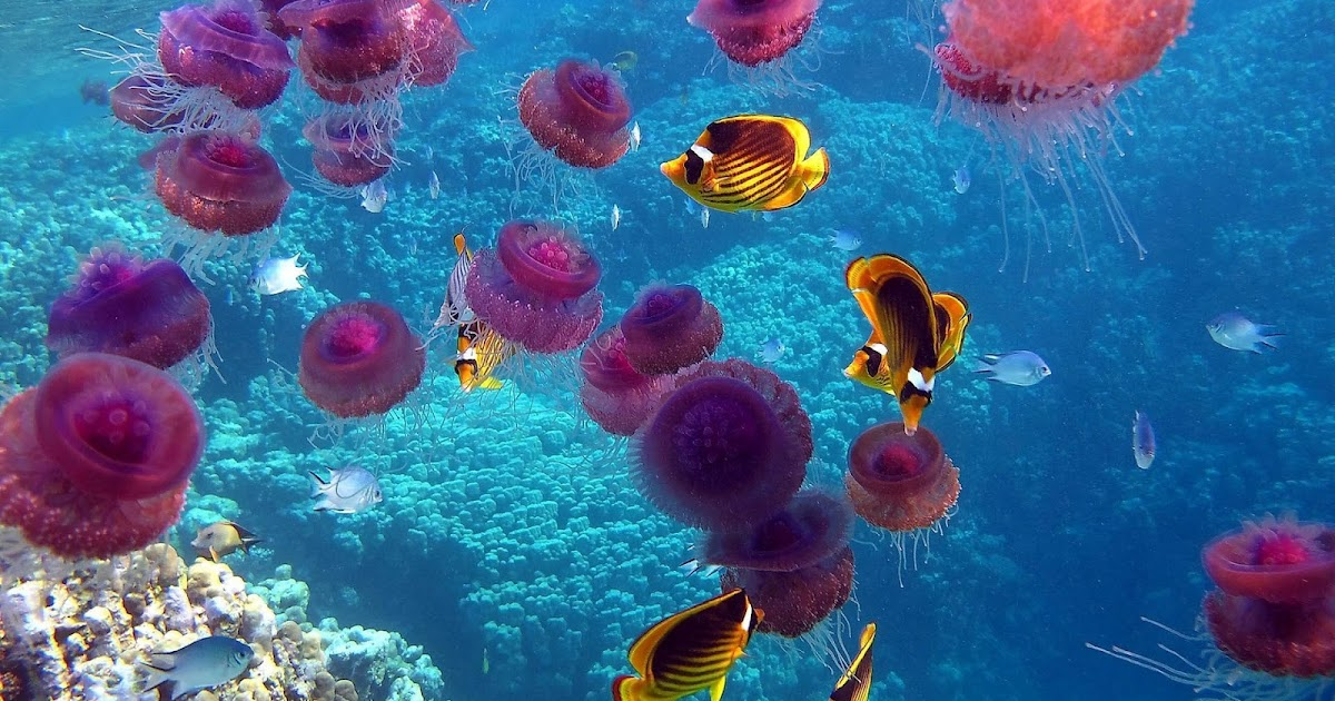 Pink jellyfish wallpaper hd animals wallpapers for Lots of fish