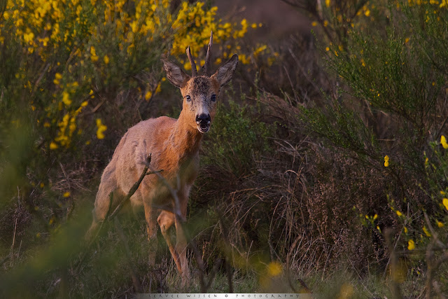 Ree op de hei in geel bloeiende Brem - Roe Deer in heathland and yellow flowering Broom brushes - Capreolus capreolus