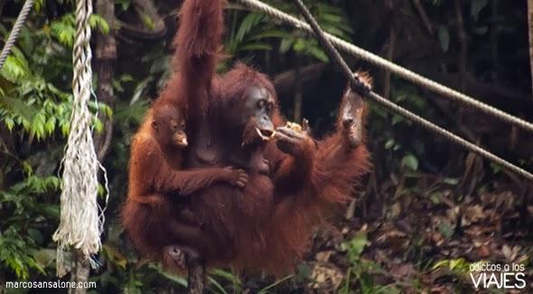orangutanes en malasia Semmenggoh