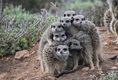 Gia đình cầy vằn