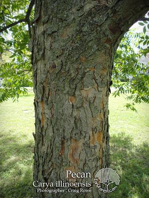 Pecan Tree Bark