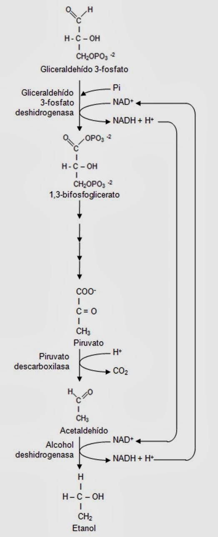 Fermentación | Apuntes de Fisiología Vegetal
