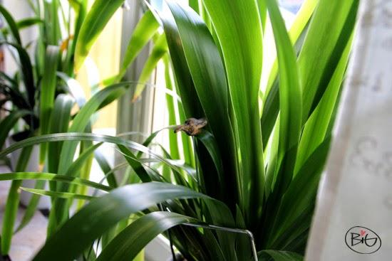 blomma i köksfönstret med trips på bladen