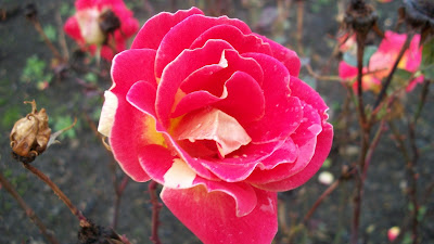I guess the creator of this pink and white rose was named Terry O'something?