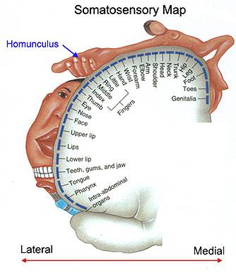Brain Homunculus6
