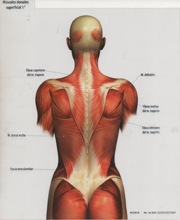 Medical CUCS: Láminas Músculos de la Espalda