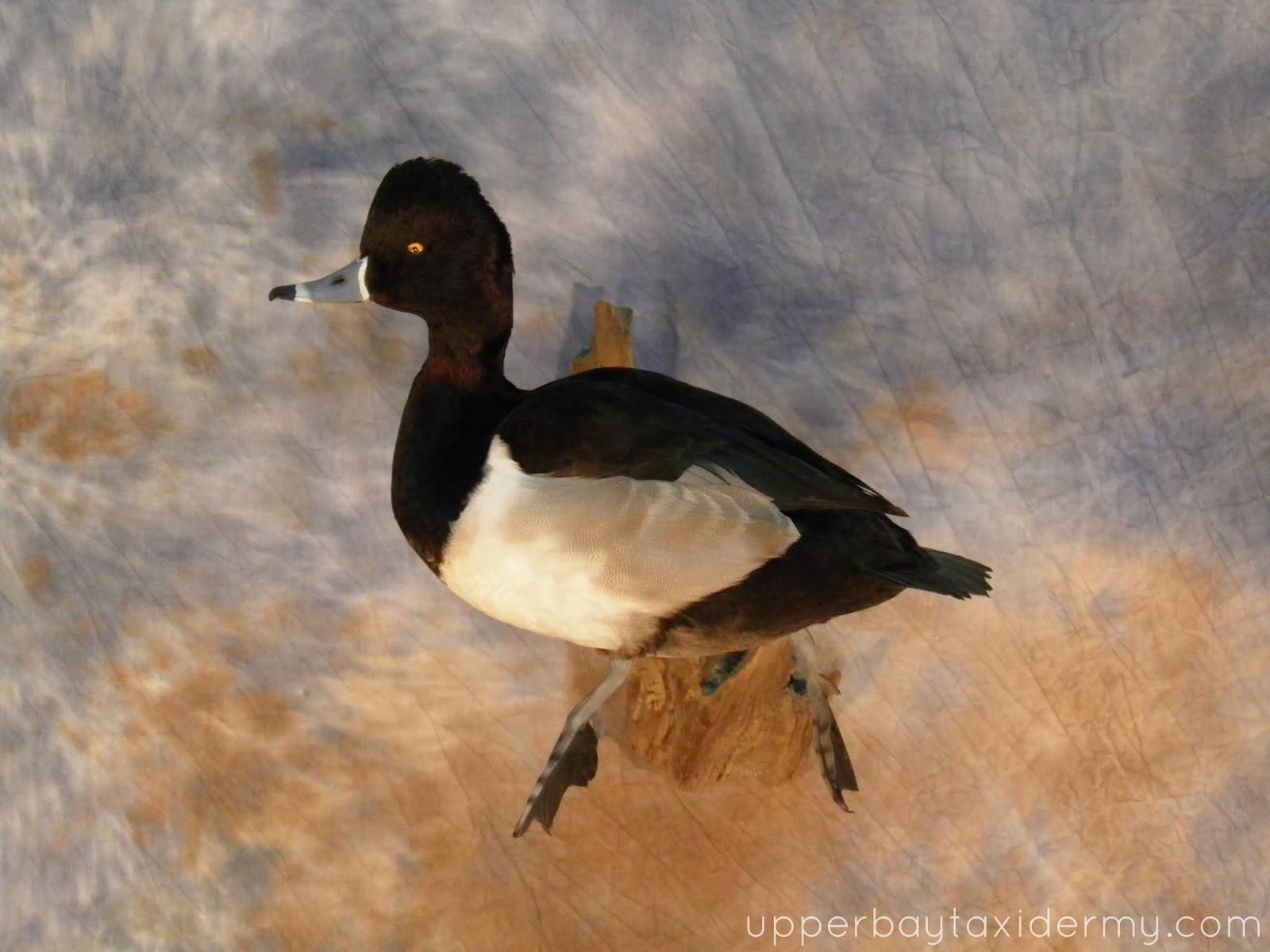 Ringneck Duck Mounts