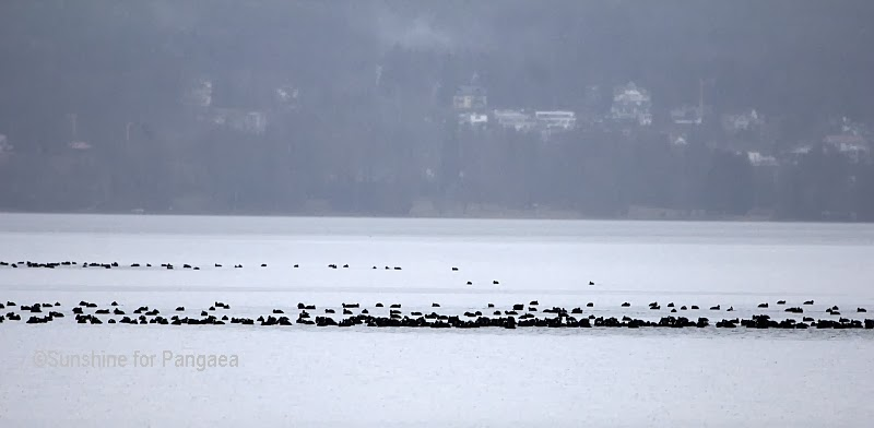 Eurasian Coots on the Starnberger See
