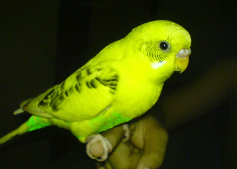 Cara Merawat Burung Parkit Agar Cepat Gacor Bunyi