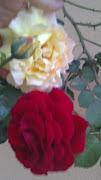 Dos rosas de mi rosal