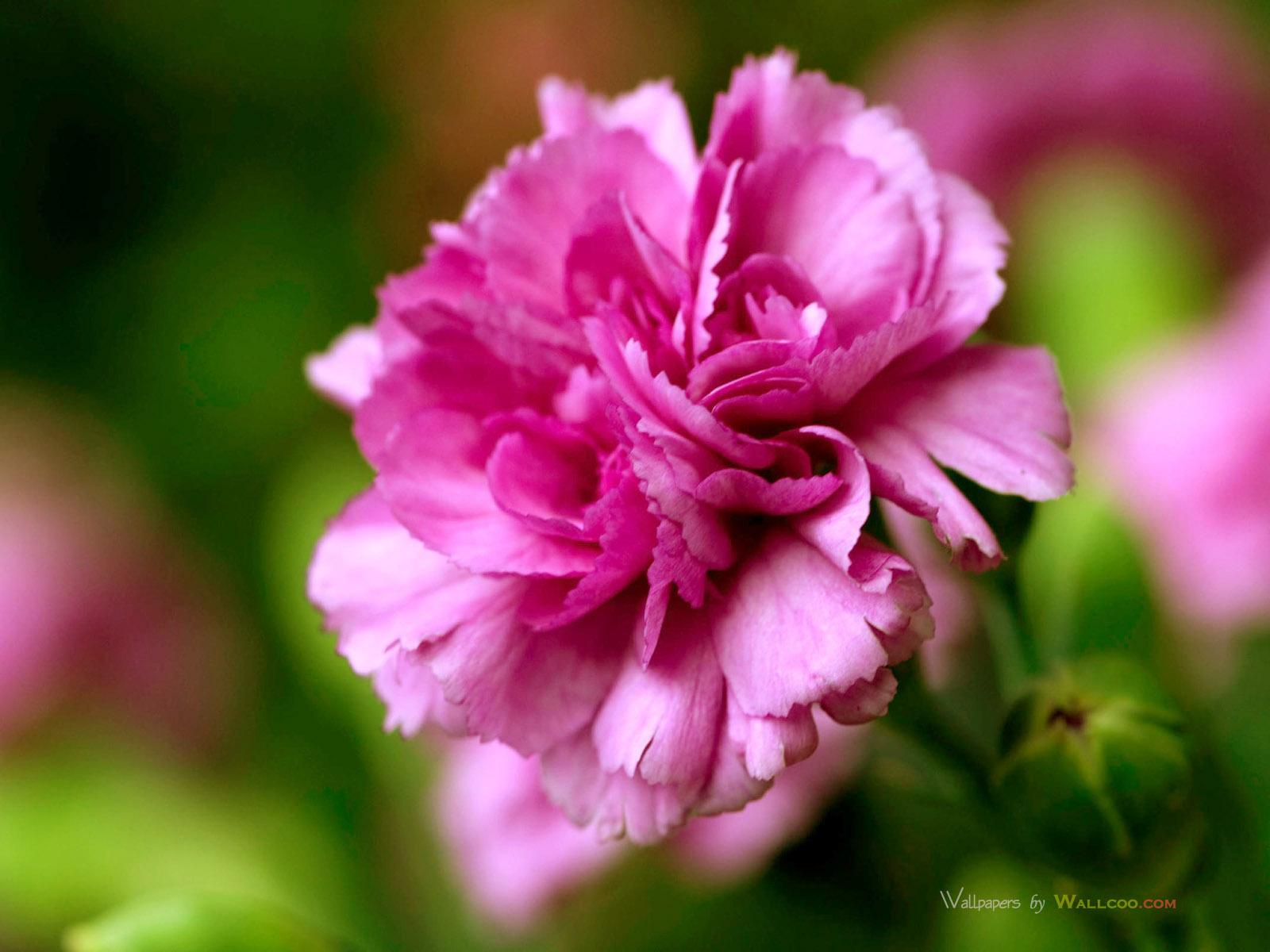 Carnations+10