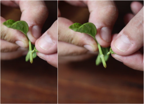 how to keep mint and basil in australia