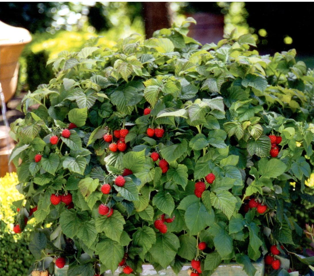 superior berry garden Part - 5: superior berry garden images