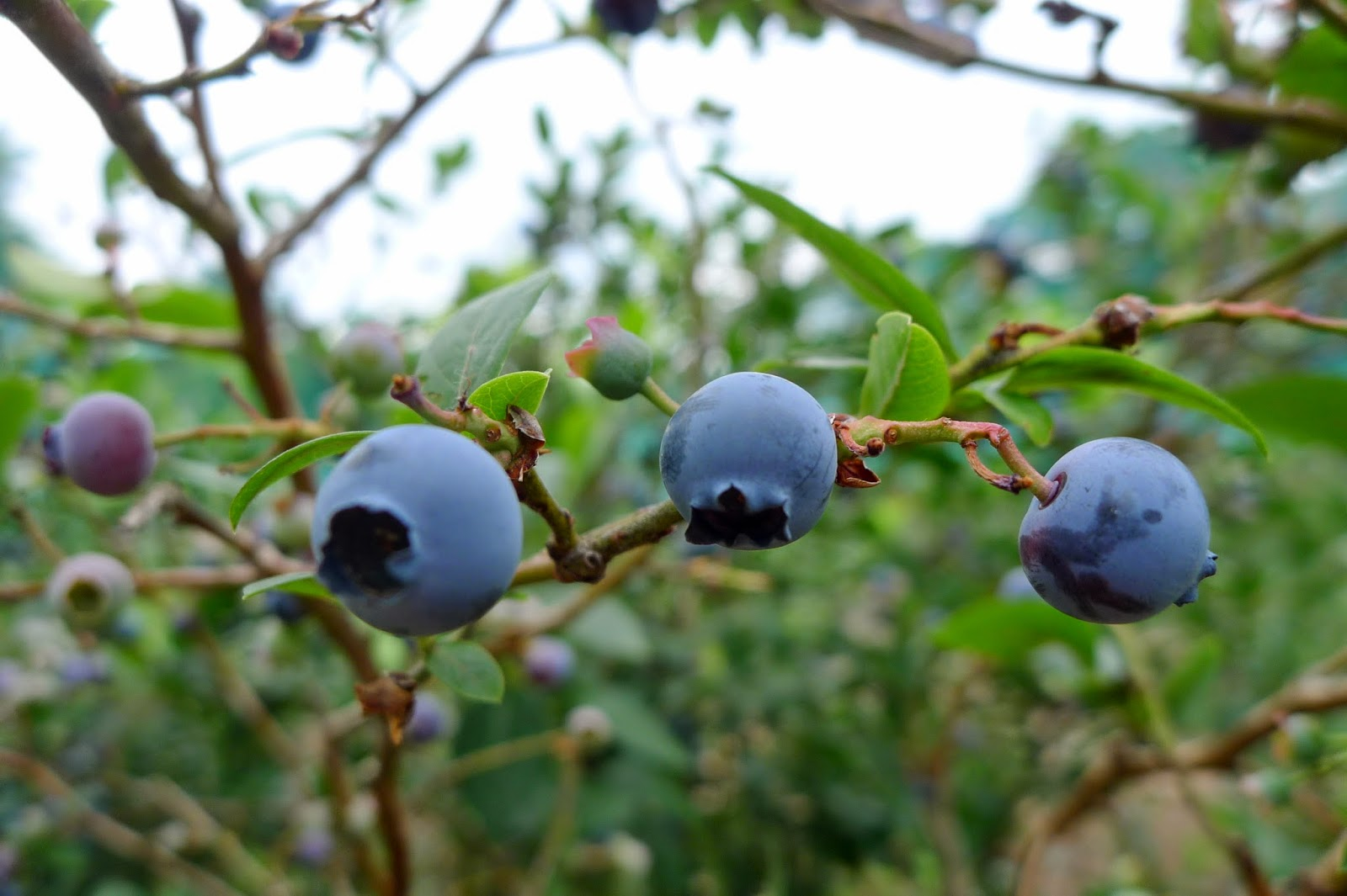 Blueberries, preserving