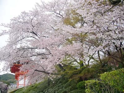 京都市・音羽山 清水寺 桜