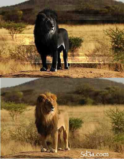 Black-Lion-optical-illusion 3