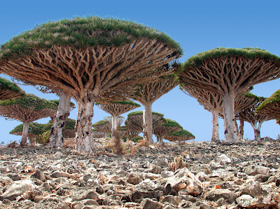 Socotra unique dragon blood trees
