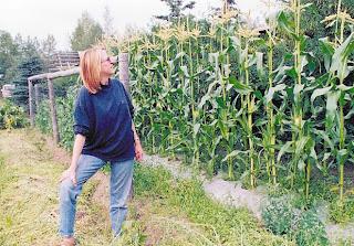 Unusual crop in Alaska.