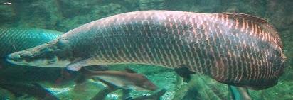jual ikan arapaima,ikan arapaima terbesar,makanan ikan arapaima,harga ikan arapaima,jual ikan arapaima gigas,ikan arapaima dijual,ikan arapaima dari amazon,