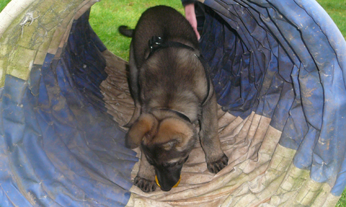 German Shepherd puppy stopped in a training collapsible tunnel, head down biting a yellow toy