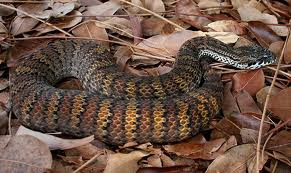 Ular Death Adder