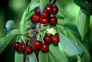 Κεράσια: Το θαυματουργό φρούτο του καλοκαιριού