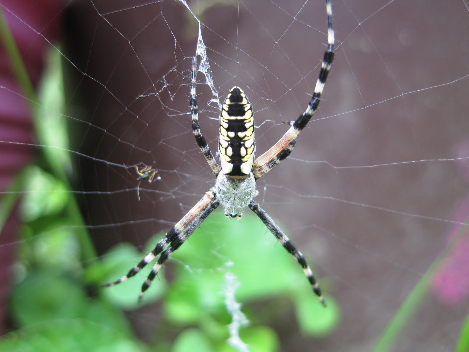 Wild Maryland 101: MD Spiders: Maryland's Largest Spiders