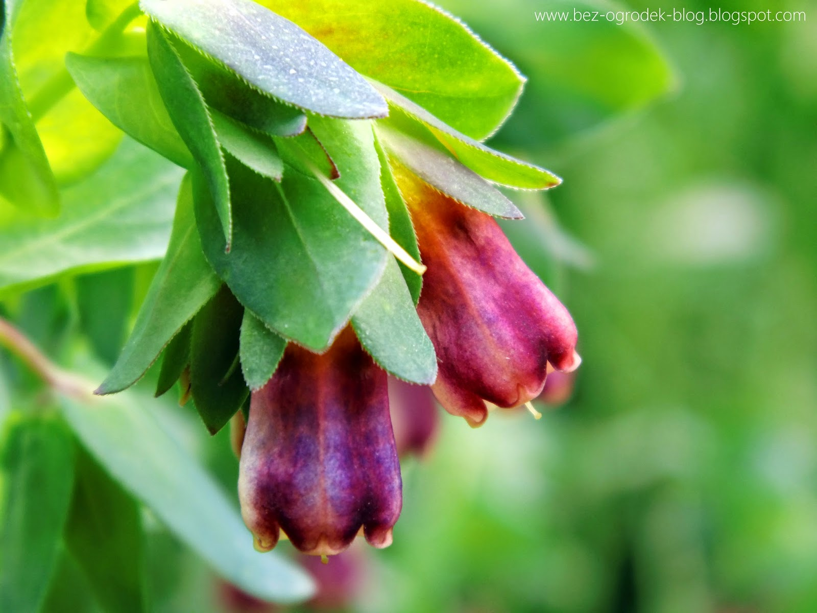 cerinthe flowers in the color of the year