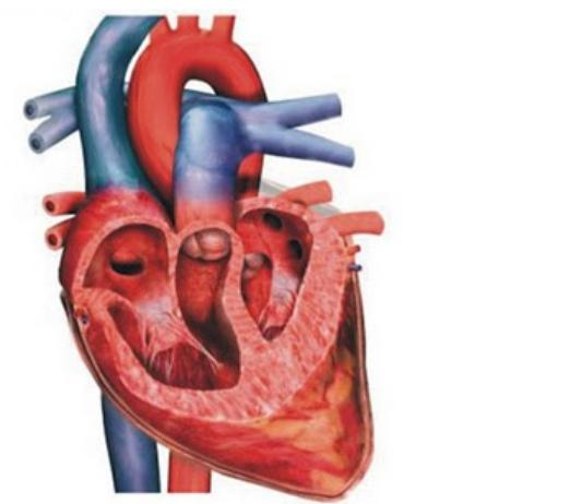 Reproductive Health And Fetal Anatomy Human Heart Understanding