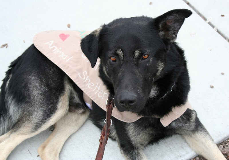 close up of german shepherd amos laying on pavement, wearing an adopt me cape, his beautiful reddish brown eyes are looking at the camera and he has one ear up and one ear down as usual