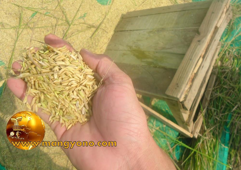 """FOTO : Hasil Gabah yang dirontokan dengan menggunakan perontok padi manual """" Gebotan """""""