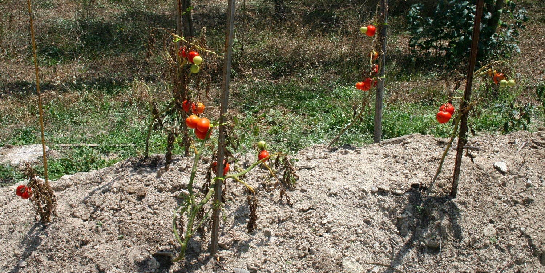 My dead tomato plants
