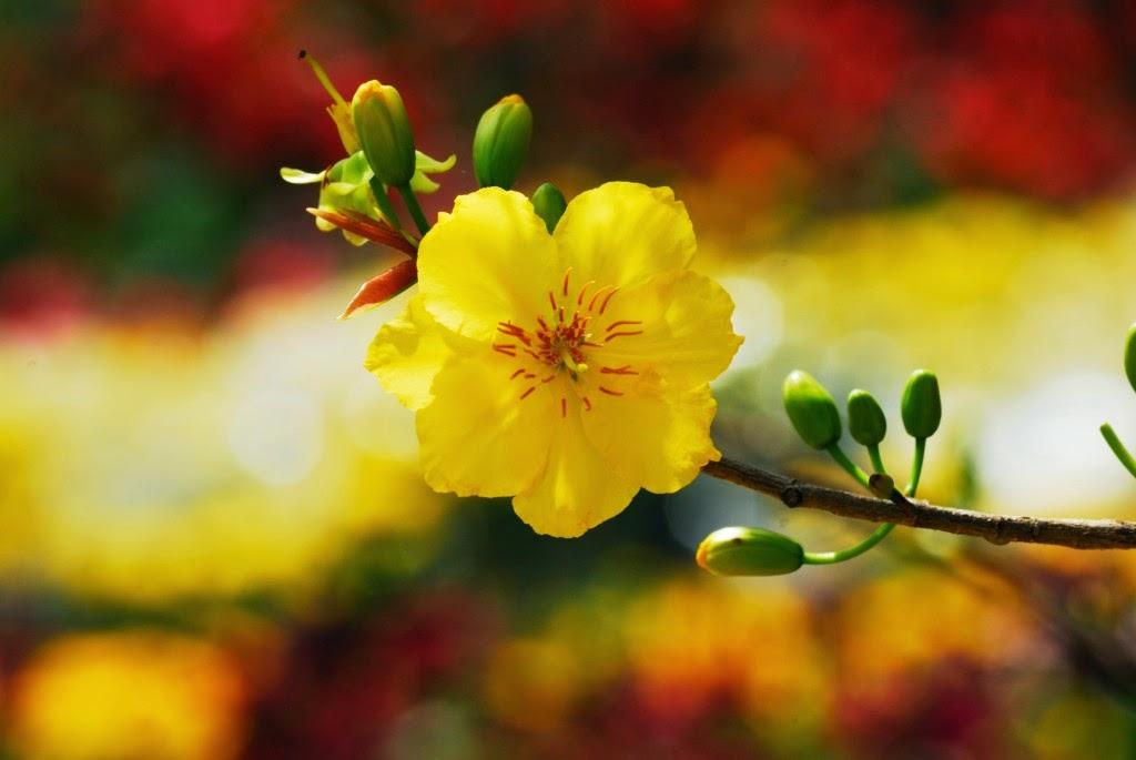Những hình ảnh đẹp về mùa xuân | Ảnh hoa mai hoa đào nở rộ