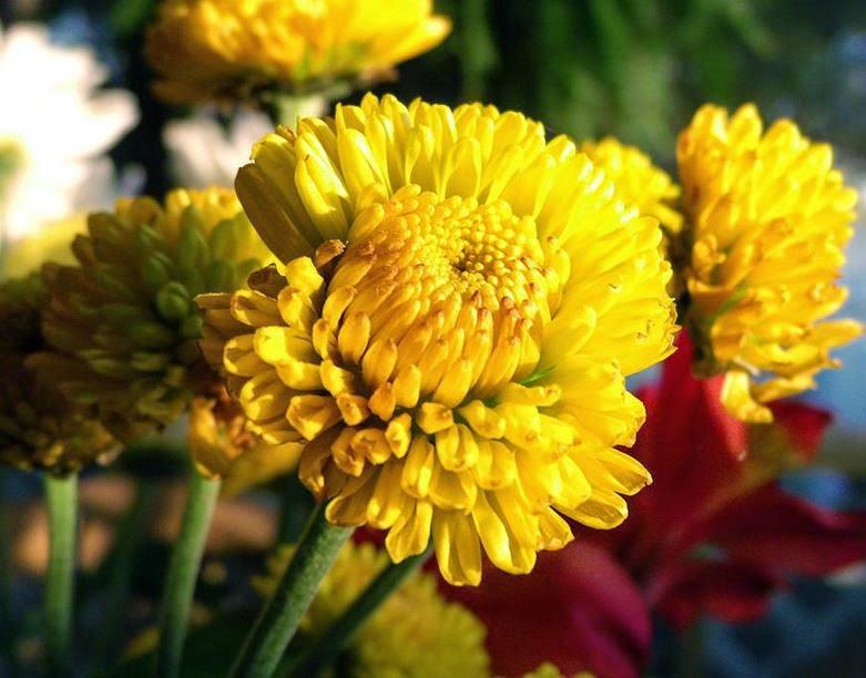 Yellow Garden Mums
