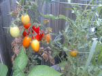 Thyme's Window Box Roma Tomatoes