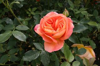 Roses Of Richmond David Austin Rose Lady Of Shalott
