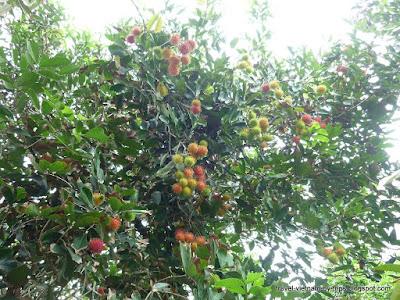 My Tho Rambutan orchard