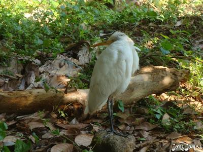 Small White Heron, Kokku