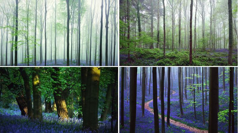Impresionantes fotos del Bosque Azul en Bélgica