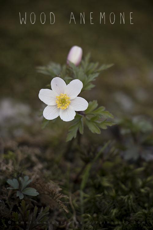 sunday walk, wild spring flowers, wood anemones,wild wood anemones
