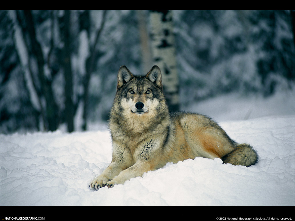 free cool wallpapers gray wolf wallpapers