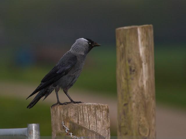 Kauw - Jackdaw - Corvus monedula