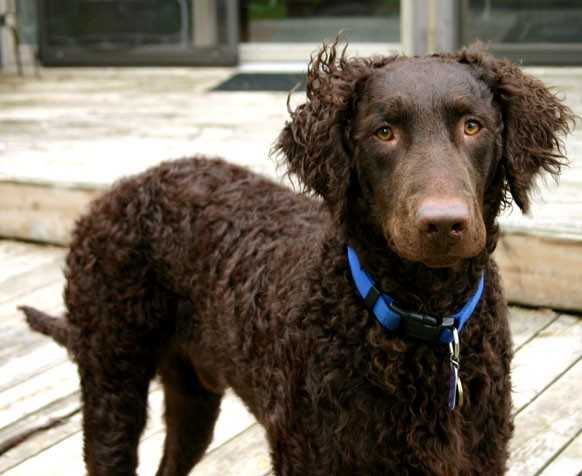 About Dog Curly Coated Retriever