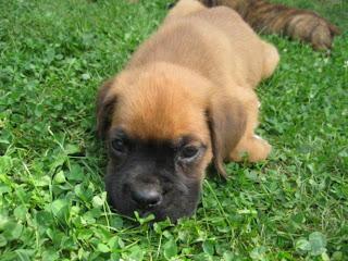 Mastiff Puppy Pictures