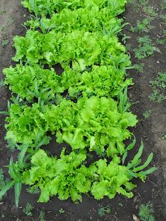 Салат растет с кукурузой