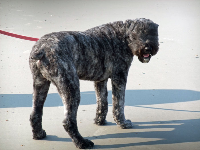 Espen Van Valkin Bouvier Des Flandres Haircut Amp Beach Day